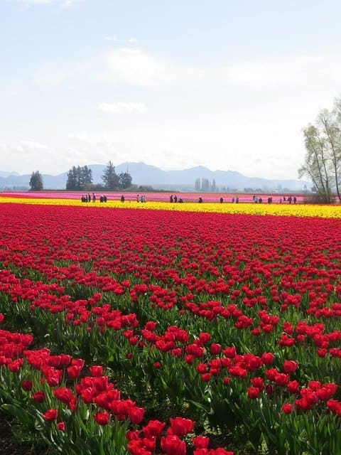 Tulpenfelder in Deiner Nähe?