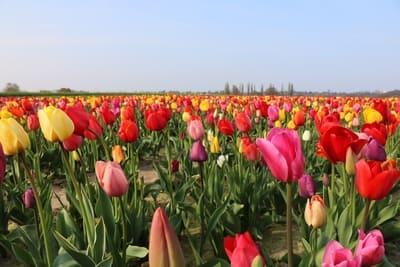 Tulpenfelder in Deutschland - Baumerhof