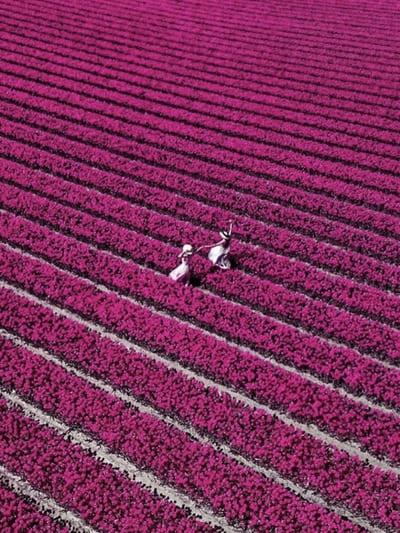 Ein blühendes Tulpenfeld in Deutschland finden