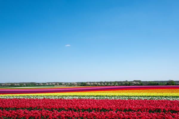 Tulpenfeld Tulpenfelder Nordrhein-Westfalen Gruissem Degenhardt
